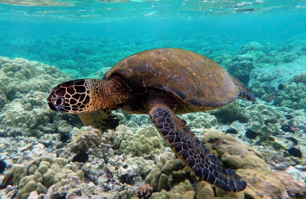 Baby Turtles at the Great Barrier Reef