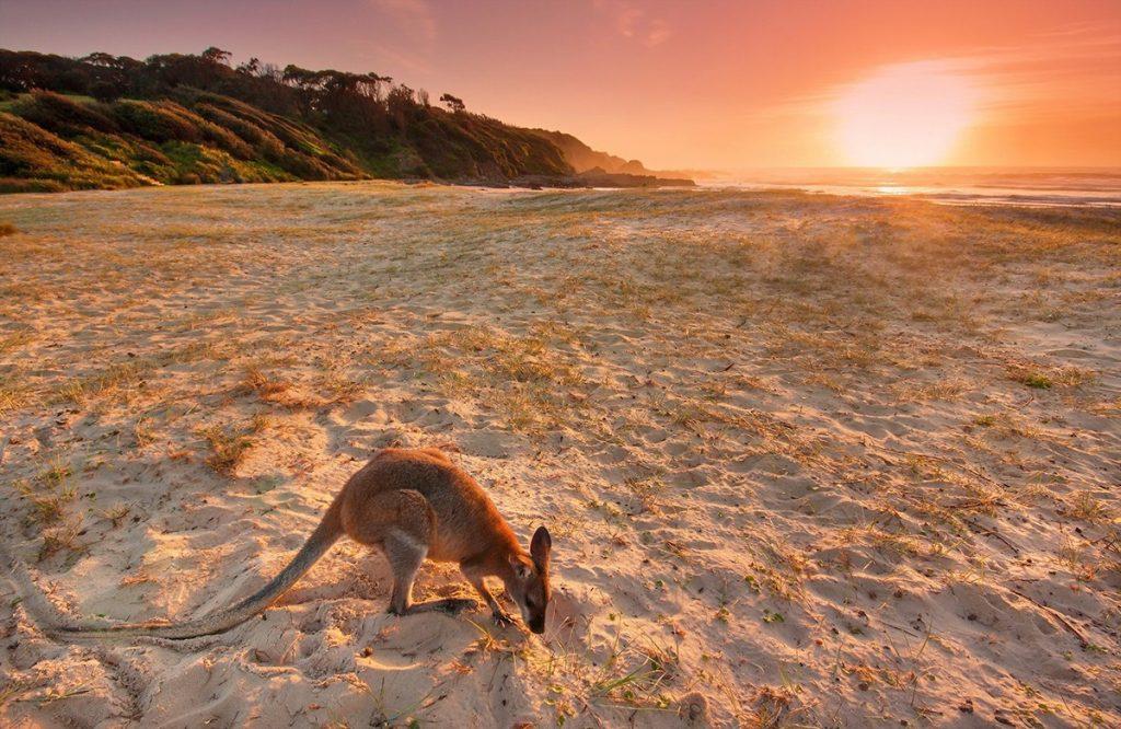 Kangaroos at Kangaroo Island