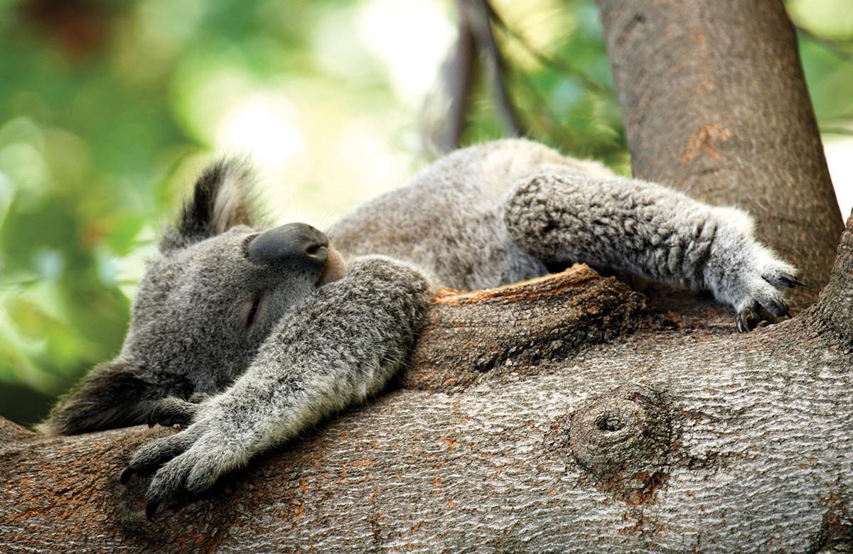 Koalas Australia Wildlife Experiences