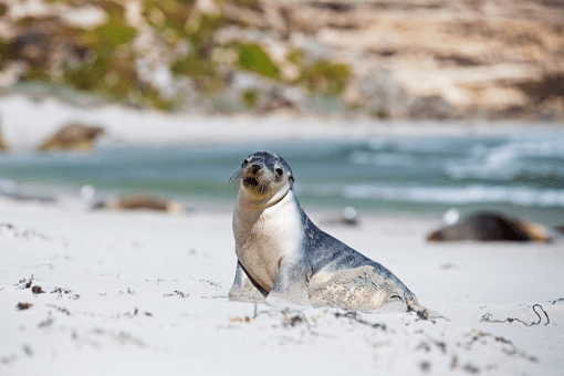 Seal Bay Sea Lions