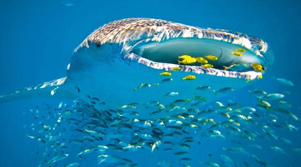 Whaleshark Australia