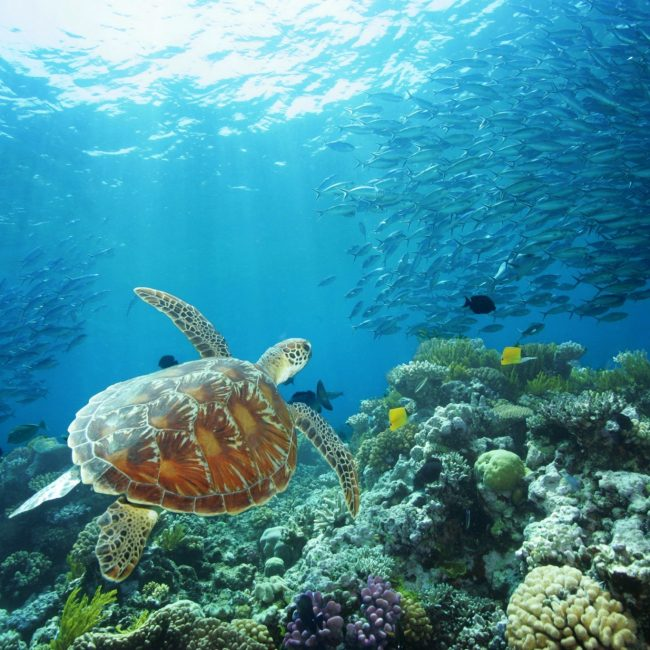 Sea Turtle Great Barrier Reef