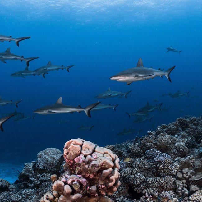 Rangiroa Diving with Sharks