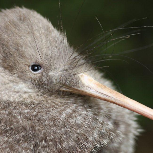 Zealandia Kiwi