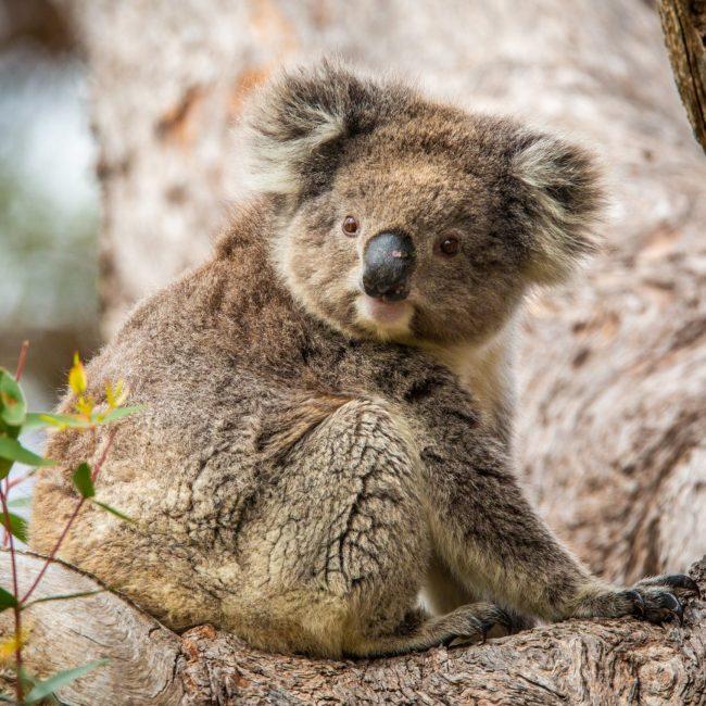 Koala Viewing at Mikkira Station