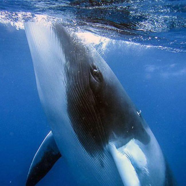 Dwarf-Minke-Whales_2